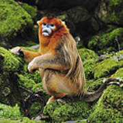 Golden Snub-nosed Monkey Male China Poster