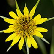 Golden Star Flower Yellow Salsify Glacier National Park Poster