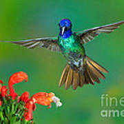 Golden-tailed Sapphire At Flower Poster