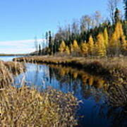 Golden Tamaracks Poster