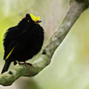 Golden-winged Manakin Poster