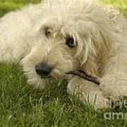 Goldendoodle Pup With Stick Poster by Anna Lisa Yoder