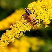 Goldenrod Beetle Poster
