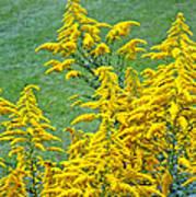 Goldenrod Flowers Poster