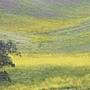 Goldenrod Oak Santa Ynez California 3 Poster