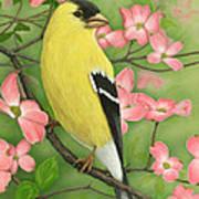 Goldfinch And Dogwood Poster