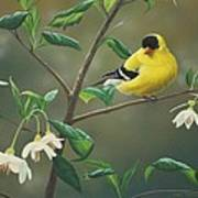 Goldfinch And Snowbells Poster by Peter Mathios