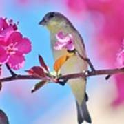 Goldfinch Behind Pink Blossoms 031015aaa Poster