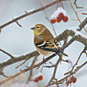 Goldfinch In Snow Poster