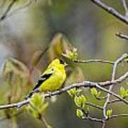 Goldfinch In Spring Poster