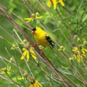 Goldfinch In The Flowers Poster