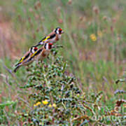 Goldfinches Poster