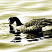 Goose Reflecting In The Water Poster