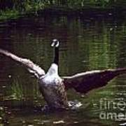 Goose Shaking Its Wings. Poster