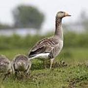 Goose With Chicks Poster