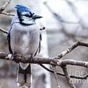 Gorgeous Blue Jay Poster