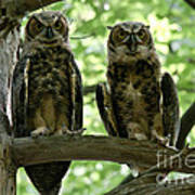 Gorgeous Great Horned Owls Poster