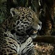 Gorgeous Jaguar Poster