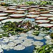 Gorgeous Water Lilies Poster
