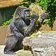 Gorilla Eats Poster