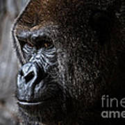 Gorilla In Thought Poster