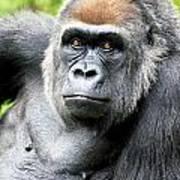 Gorilla Pose Poster