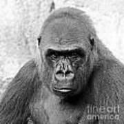 Gorilla White Background Poster