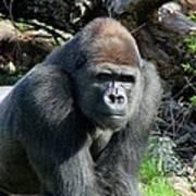 Gorilla135 Poster
