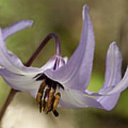 Graceful Fawn Lily Poster