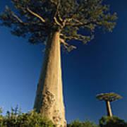 Grandidiers Baobab Trees Madagascar Poster