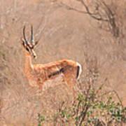 Grant's Gazelle Nanger Granti Poster