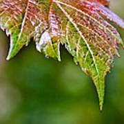 Grape Autumn Leaf Poster