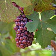 Grape Bunch Poster