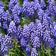 Grape Hyacinth At Thanksgiving Point - 1 Poster