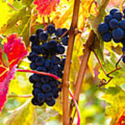 Grapes And Autumn Leaves, Napa California Poster