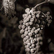 Grapes In Grey 4 Poster