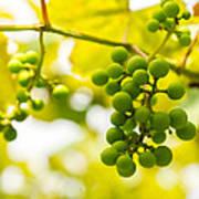 Grapes On The Vine - Finger Lakes Vineyard Poster