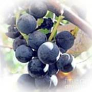 Grapes On The Vine Poster by Kathleen Struckle
