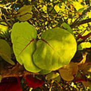 Grapetree Canopy Poster