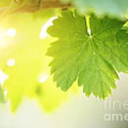 Grapevine Leaves Poster