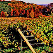 Grapevines In Vineyard, Traverse City Poster