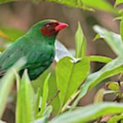 Grass-green Tanager Poster