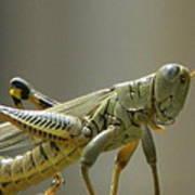 Grasshopper In Profile Poster