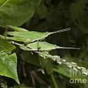 Grasshopper Mating On Grass Leaf Poster