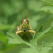 Grasshopper Portrait Poster