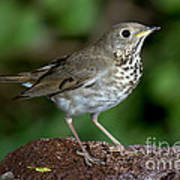Gray-cheeked Thrush Catharus Minimus Poster