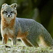 Gray Fox On Alert Poster