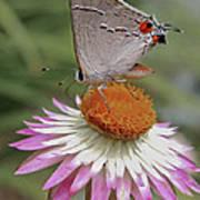 Gray Hairstreak And Straw Flower Poster