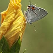 Gray Hairstreak Butterfly Poster
