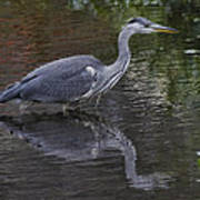 Gray Heron And Reflection Poster